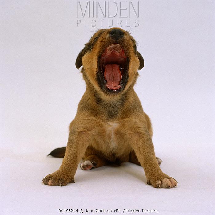 Lakeland Terrier x Border Collie, 4-week pup yawning  -  Jane Burton/ npl