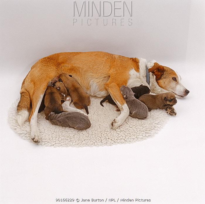 Sable Border Collie mother with seven suckling puppies  -  Jane Burton/ npl