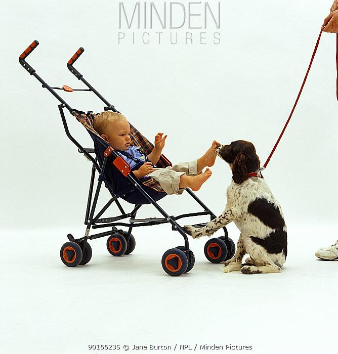 English Springer Spaniel pup 12-week, meeting 11-month baby boy in buggy  -  Jane Burton/ npl