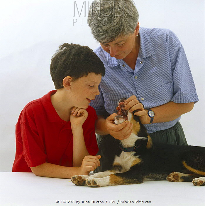 Woman showing boy how to open a pup's mouth and look at its tongue and teeth  -  Jane Burton/ npl