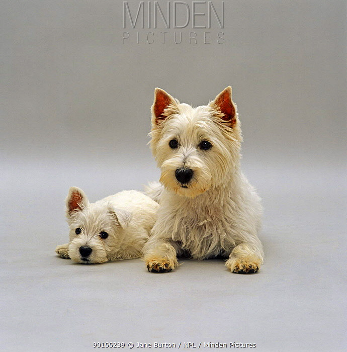West highland white terrier bitch, with one of her 7-week pups  -  Jane Burton/ npl