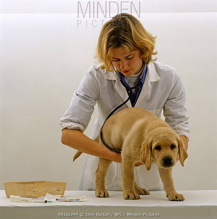 Vet examining 9-week Yellow Labrador Puppy before his primary vaccination Listening to his heart and chest with a stethoscope  -  Jane Burton/ npl