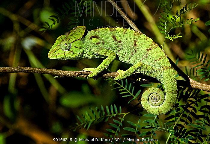 Oustalet's chameleon (Furcifer oustaleti) Madagascar  -  Michael D. Kern/ npl