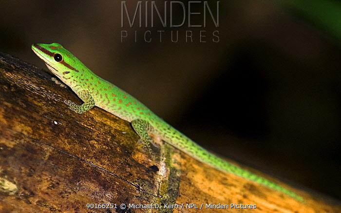 Seipps day gecko (Phelsuma seippi) Madagascar  -  Michael D. Kern/ npl
