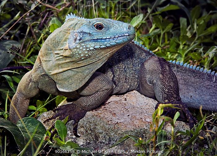 Cayman blue rock iguana (Cyclura nubila lewisi) Grand Cayman, Caribbean  -  Michael D. Kern/ npl