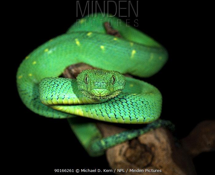 Green bush viper (Atheris chloroechis) captive,  -  Michael D. Kern/ npl