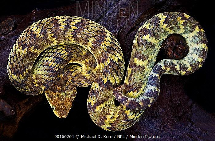 Variable bush viper snake (Atheris squamigera) captive, occurs equatorial Africa  -  Michael D. Kern/ npl
