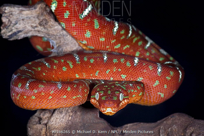 Emerald tree boa (Corallus canina) snake portrait, captive, South America  -  Michael D. Kern/ npl