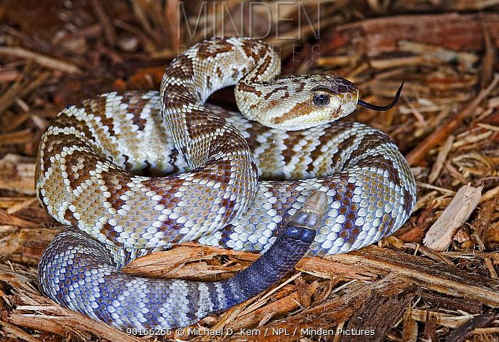 Black tailed rattlesnake (Crotalus molossus) captive snake; occurs south western USA, Mexico, San Esteban and Tiburon Islands  -  Michael D. Kern/ npl