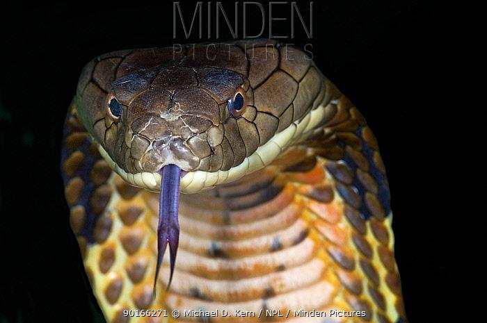 King Cobra (Ophiophagus hannah) portrait tasting with tongue, captive, South eastern Asia snake  -  Michael D. Kern/ npl