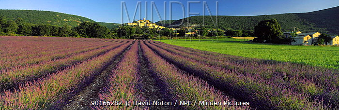 Lavender field and hilltop village of Bagnon, Provence, France  -  David Noton/ npl