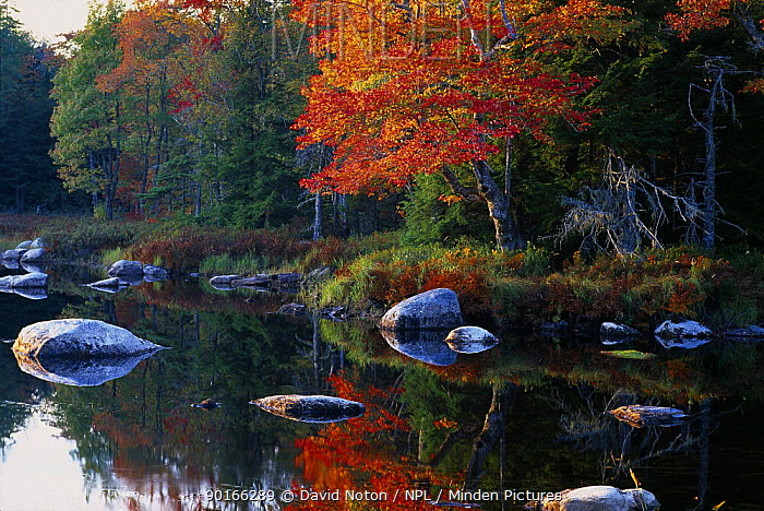 Autumn colours on the banks of the Mersey River nr Kejimkujik National Park, Nova Scotia, Canada  -  David Noton/ npl