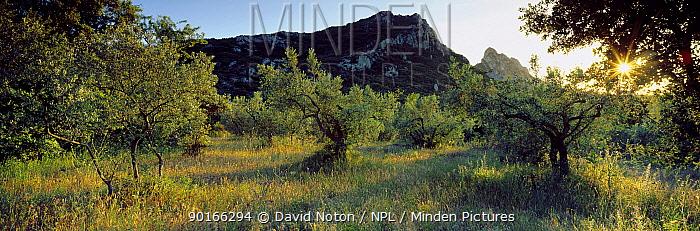 Olive grove near St Remy de Provence, Chaine des Alpilles, Provence, France  -  David Noton/ npl