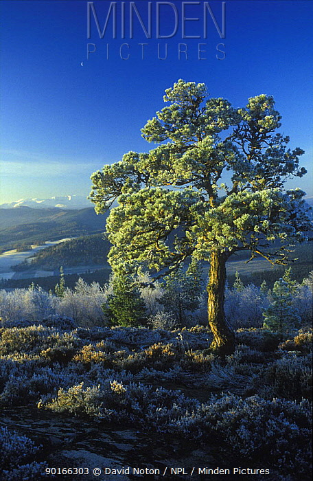 Winter's morning at Craigenddaroch, nr Balater, Lochnagar in distance, Scotland, UK  -  David Noton/ npl