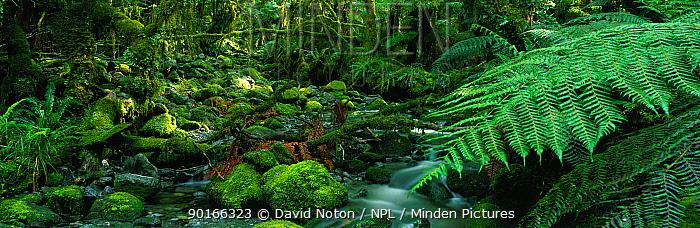 Temperate rainforest, Fjordland National Park, South Island, New Zealand  -  David Noton/ npl