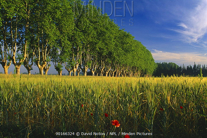Avenue of trees with barley field and poppies, nr St Remy de Provence, Provence, France  -  David Noton/ npl