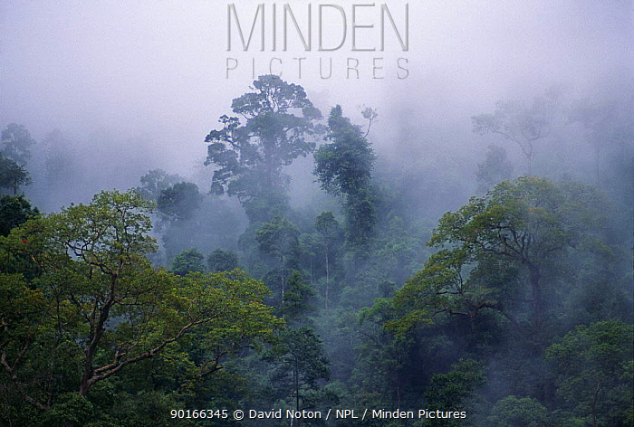 Damp rain clouds in amongst the trees, tropical rainforest, Khao Sok, Thailand  -  David Noton/ npl