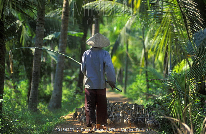 Farm worker with flock of ducks, Ben Tre Province, Mekong Delta, Vietnam  -  David Noton/ npl