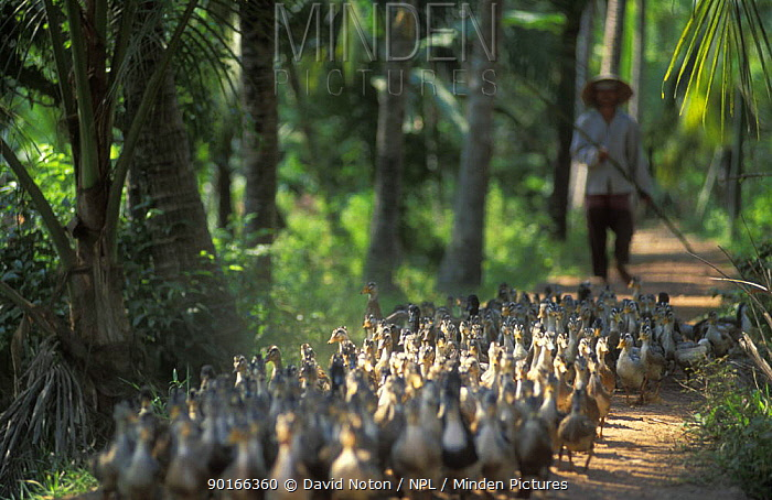 Minden Pictures stock photos - Farm worker with flock of