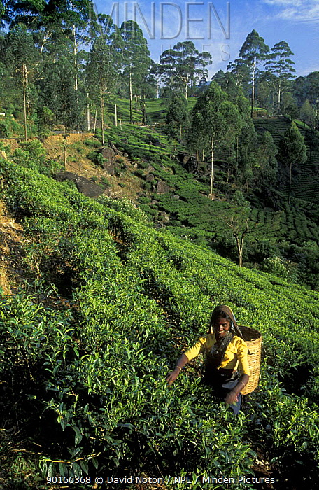 Harvesting tea, Labookellie Tea Plantation, Hill Country, nr Nuwara Eliya, Sri Lanka  -  David Noton/ npl
