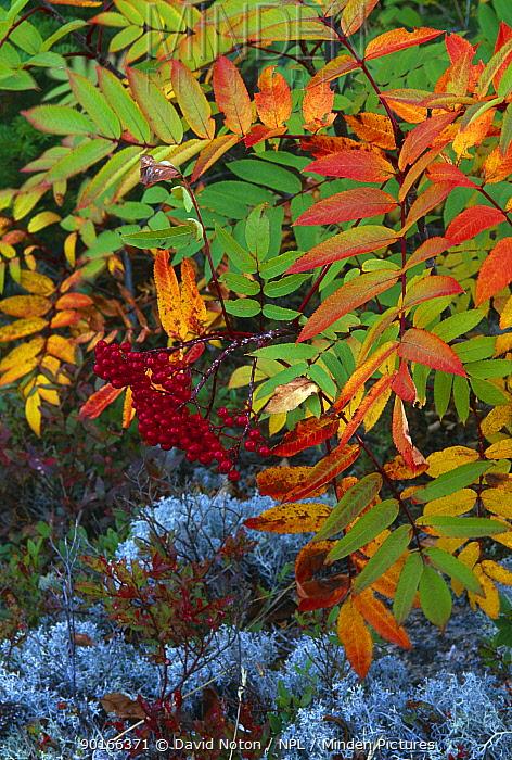 Autumn colours, Dogberry (Sorbus americana) Newfoundland, Canada  -  David Noton/ npl