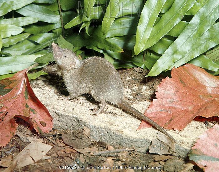 Asian, Man's musk shrew (Suncus murinus) Captive, Malaysia  -  Jane Burton/ npl