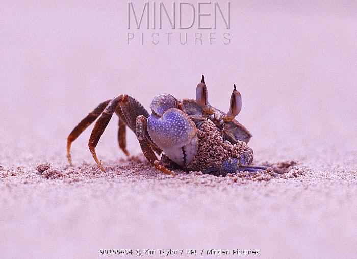 Sand, Ghost crab (Ocypode sp) excavating burrow, Africa  -  Kim Taylor/ npl
