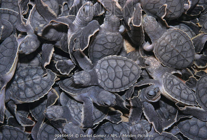 Close-up of baby Sea turtles, Sian Ka'an Biosphere Reserve Mexico  -  Daniel Gomez/ npl