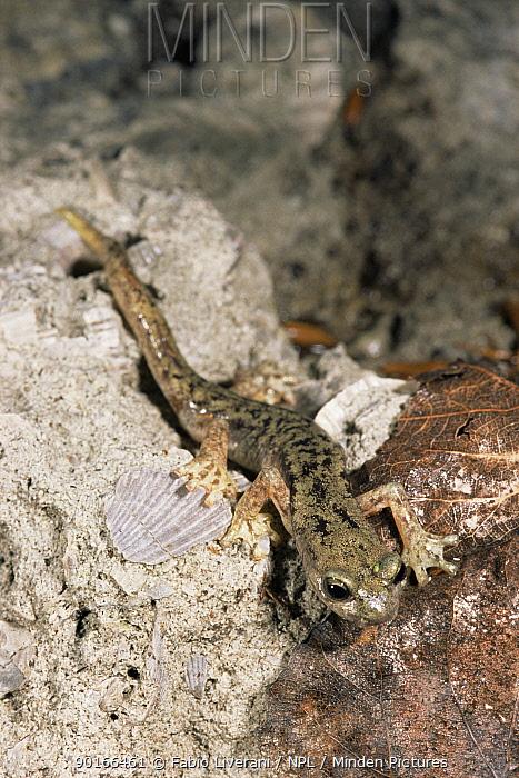 Cave salamander (Hydromantes, Speleomantes supramontis) Italy  -  Fabio Liverani/ npl