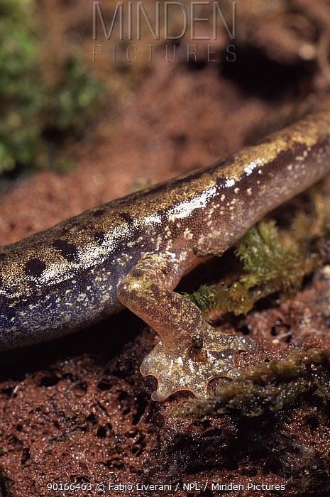 Close up of feet of Sardinian cave salamander (Hydromantes, Speleomantes genei)  -  Fabio Liverani/ npl