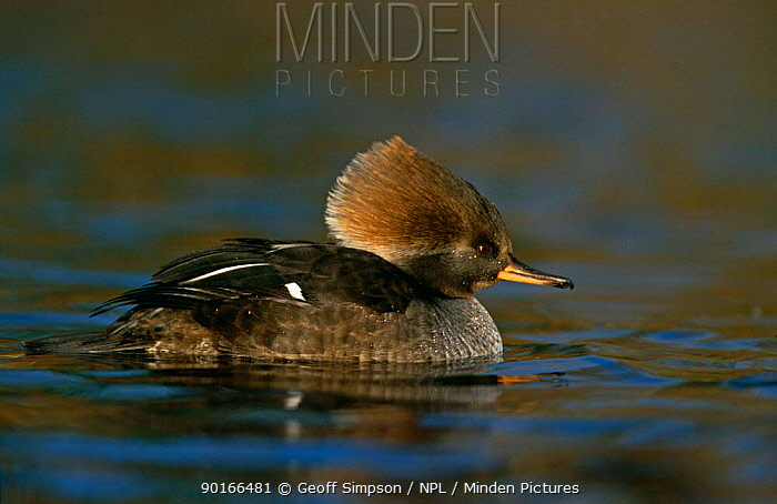 Hooded Merganser (Mergus cucullatus) female, captive, UK  -  Geoff Simpson/ npl