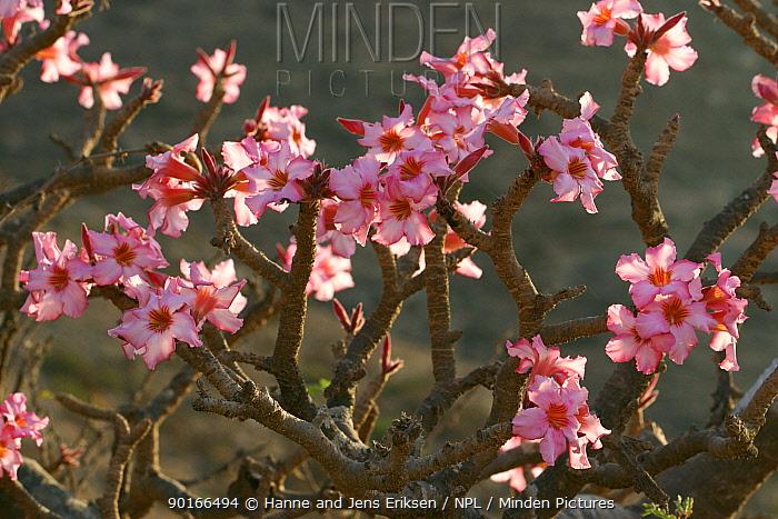Desert roses (Adenium obesum), Wadi Hareet, Oman  -  Hanne & Jens Eriksen/ npl