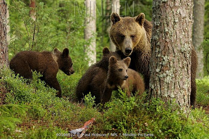 Brown Bear mother and cubs (Ursus arctos), behind tree, Finland  -  Paul Hobson/ npl