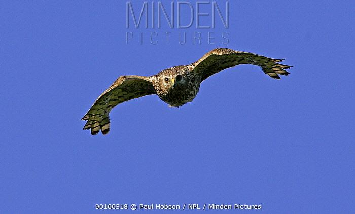 Female Hen Harrier (Circus cyaneus) in flight, Peak District, uk  -  Paul Hobson/ npl