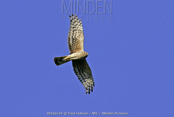 Female Hen Harrier (Circus cyaneus) in flight, Peak District, uk  -  Paul Hobson/ npl