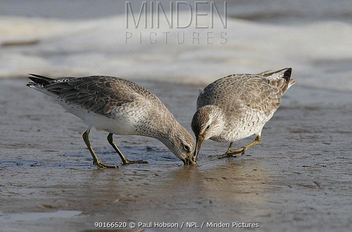 Two Knots (Calidris canutus) feeding on mud flat, Lancashire coast, uk  -  Paul Hobson/ npl