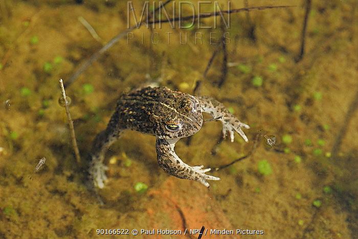 Natterjack Toad (Bufo calamita) swimming in pond, Lincolnshire, uk  -  Paul Hobson/ npl