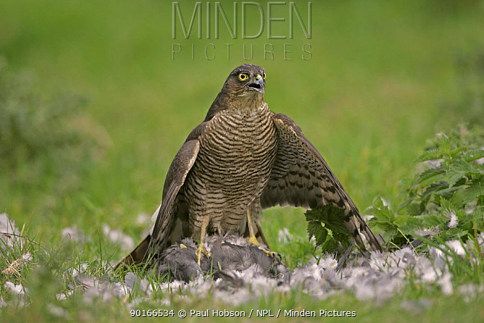 Female sparrowhawk (Accipiter nisus) plucking a wood pigeon in a field, Gloucestershire, uk  -  Paul Hobson/ npl
