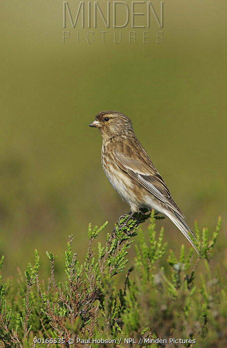 Male Twite (Carduelis flavirostris) on heather, Pennines, uk  -  Paul Hobson/ npl