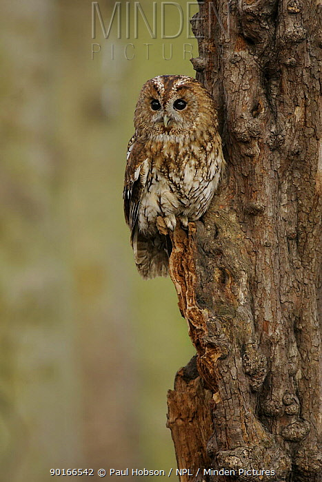 Tawny Owl (Strix aluco) sitting on side of hawthorn, winter woodland, Derbyshire, UK  -  Paul Hobson/ npl