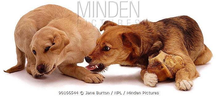 Twelve-week-old Yellow Labrador pup, crying away from food-guarding Lakeland Terrier x Border Collie, 'Bess'  -  Jane Burton/ npl