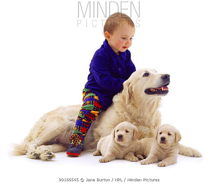 1-year-old baby, 'riding' Golden Retriever bitch with two 6-week-old pups  -  Jane Burton/ npl