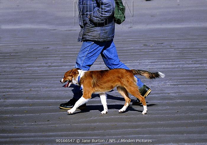 Border Collie, Bobby, walking to heel on a sandy beach  -  Jane Burton/ npl