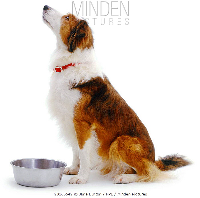 Sable Border Collie sitting beside her stainless steel bowl, looking up and waiting to be fed  -  Jane Burton/ npl