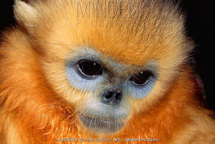 Chinese snub nosed monkey head close up (Pygathrix roxellana) China  -  Pete Oxford/ npl