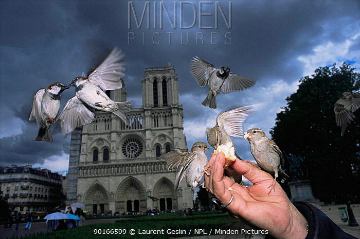 Common, House sparrows (Passer domesticus) being fed by hand in front of Notre Dame, Paris, France  -  Laurent Geslin/ npl