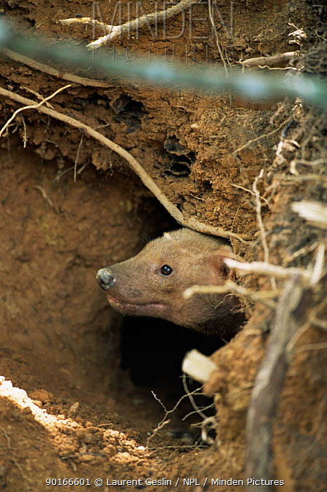 Bush Dog (Speothos venaticus) emerging from den Research Project, Brazil  -  Laurent Geslin/ npl