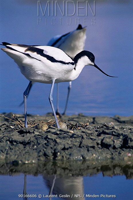 Avocet (Recurvirostra avosetta) standing over eggs in nest, France  -  Laurent Geslin/ npl