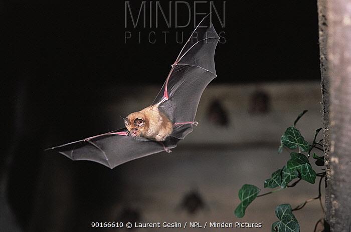 Greater horseshoe bat (Rhinolophus ferrumequinum) in flight UK  -  Laurent Geslin/ npl