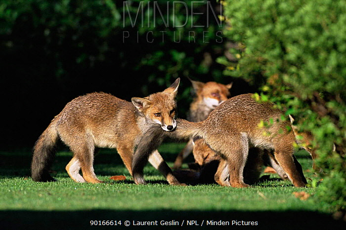 Two Red fox (Vulpes vulpes) cubs playing in garden UK  -  Laurent Geslin/ npl